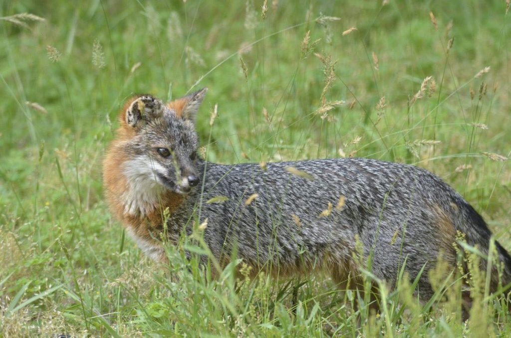 Delaware Grey Fox